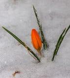 Snowdrops dos açafrões Imagem de Stock Royalty Free