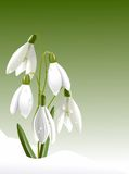Snowdrops in drops Royalty Free Stock Photography