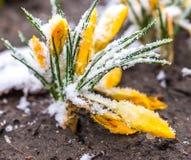 Snowdrops e açafrão Fotos de Stock