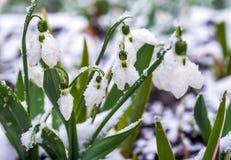 Snowdrops e açafrão Imagem de Stock Royalty Free