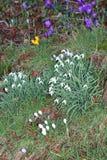Snowdrops e açafrões de afago selvagens no jardim Imagem de Stock Royalty Free