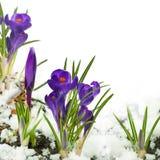 Snowdrops e açafrões na neve Imagens de Stock Royalty Free