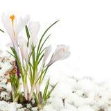 Snowdrops na neve Foto de Stock Royalty Free