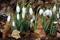 Snowdrops e folhas inoperantes Foto de Stock