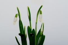 Snowdrops e fundo branco Foto de Stock Royalty Free