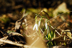 Snowdrops. The earliest spring flowers. Snowdrops. Sweethearted nature Stock Photo