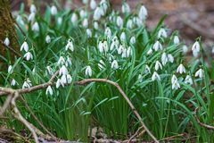 Snowdrops in early spring Royalty Free Stock Photography
