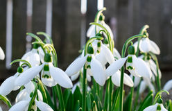Snowdrops. Early in the spring time Royalty Free Stock Images
