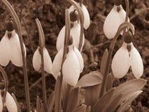 Snowdrops efervescentes em seu habitat natural Imagem da foto de cor do Sepia no estilo rústico retro imagem de stock royalty free