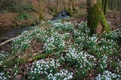 Snowdrops em Cally Wood Imagem de Stock Royalty Free