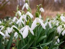 Snowdrops em um grupo foto de stock