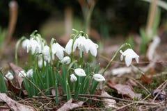 Snowdrops em um jardim da mola Fotografia de Stock Royalty Free