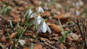 Snowdrops em um prado