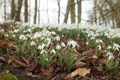 Snowdrops em uma madeira inglesa Imagem de Stock