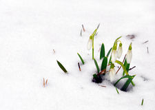 Snowdrops emerging through snow Stock Images