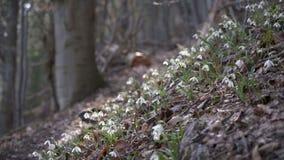 Snowdrops en brisa del bosque almacen de video