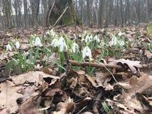 Snowdrops en el bosque de la primavera Fotos de archivo libres de regalías
