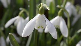 Snowdrops en el jardín en la primavera metrajes