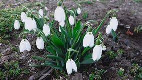 Snowdrops en el jardín, las primeras flores de la primavera almacen de metraje de vídeo