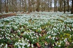 Snowdrops en el parque de Welford Imágenes de archivo libres de regalías