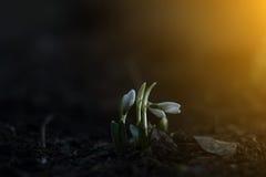 Snowdrops en el sol Imágenes de archivo libres de regalías