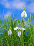 Snowdrops en hierba Fotografía de archivo