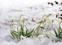 Snowdrops en la demostración Imagen de archivo libre de regalías