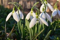 Snowdrops en la hierba, encendida para arriba por el sol a finales de tarde, detalle imagen de archivo
