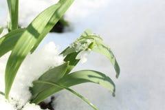 Snowdrops en la nieve fotos de archivo