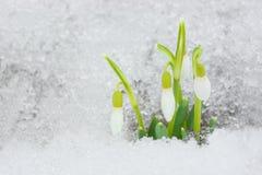 Snowdrops en la nieve. Imagen de archivo libre de regalías