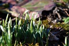 Snowdrops en la primavera que sale de la tierra fotografía de archivo