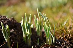 Snowdrops en la primavera que sale de la tierra imagenes de archivo