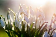Snowdrops en luz del sol Foto de archivo libre de regalías