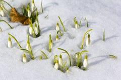 Snowdrops en marzo Fotografía de archivo libre de regalías