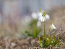 Snowdrops en naturaleza Imagen de archivo libre de regalías