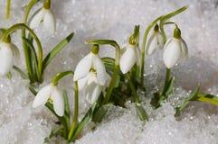 Snowdrops en nieve Foto de archivo