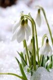 Snowdrops en nieve Fotografía de archivo