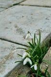 Snowdrops en primavera Imagen de archivo libre de regalías
