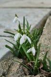 Snowdrops en primavera Imágenes de archivo libres de regalías