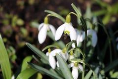 Snowdrops en primavera temprana, Galanthus Foto de archivo libre de regalías