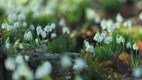 Snowdrops en rocío de la mañana en la primavera almacen de video