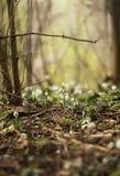 Snowdrops en un bosque Fotos de archivo libres de regalías