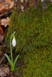 Snowdrops en un bosque Foto de archivo