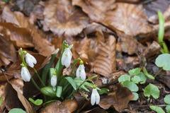 Snowdrops en un bosque Imagen de archivo libre de regalías