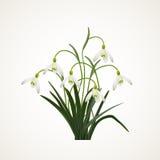 Snowdrops en un fondo blanco Ejemplo del vector de la primavera Fondo del vector con el snowdrop Fondo con la flor Illustratio Imágenes de archivo libres de regalías