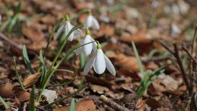 Snowdrops en un prado