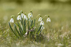 Snowdrops enlightened sun. The first spring flowers - snowdrops enlightened sun Royalty Free Stock Image