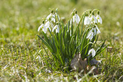 Snowdrops enlightened sun Stock Images