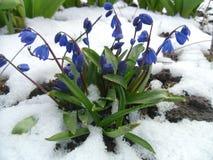 Snowdrops es heraldos de la primavera Fotografía de archivo libre de regalías