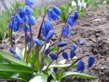 Snowdrops es heraldos de la primavera Imagenes de archivo